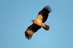 Roofvogel tijdens de vlucht Stock Afbeeldingen