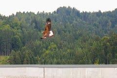 Roofvogel tijdens de vlucht, de Gouden adelaar in Oostenrijk, Europa Stock Afbeelding