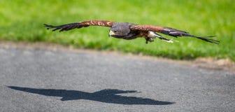 Roofvogel tijdens de vlucht havik Royalty-vrije Stock Foto's