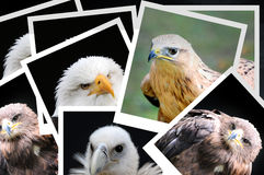 Roofvogels royalty-vrije stock afbeeldingen