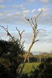 Eagle op boom Stock Afbeelding