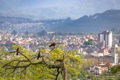 Roofvogels op een boom die Katmandu overzien Stock Foto