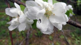 Roofzuchtige asilidae van de roversvlieg, ktyr, roversvlieg op tot bloei komende de lentebloem van Apple-boom stock foto's