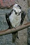 Roofzuchtige condor stock afbeelding
