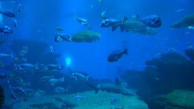 Roofzuchtige haaien en ander marien leven stock footage
