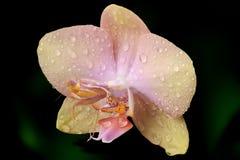 Roofzuchtige orchideebidsprinkhanen royalty-vrije stock foto's
