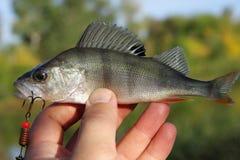 Roofzuchtige vissen op een haak Royalty-vrije Stock Fotografie