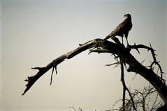 Roofzuchtige vogel Stock Afbeeldingen