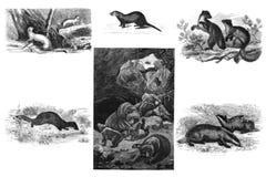 Roofzuchtige zoogdieren Illustratie vector illustratie