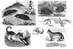 Roofzuchtige zoogdieren Illustratie royalty-vrije illustratie