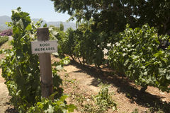 Rooi muscadel vineyard Stock Images