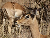 Rooibok. Pilanesberg national park South Africa  Impala Royalty Free Stock Photos