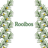 Rooibos in color, border 1. Rooibos tea plant, leaf, flower, border, frame. Hand drawn ink sketch illustration in color, lineart. African rooibos tea, hot drink Stock Photos