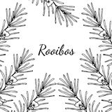 Rooibos, Square banner. Rooibos tea plant, leaf, flower. Hand drawn ink sketch illustration, lineart. African rooibos tea, hot drink. Herbal tea. Square banner Stock Images