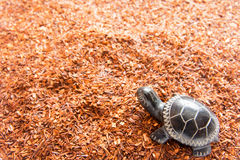 Rooibos tea. Background with turtle close up. Selective focus Stock Images