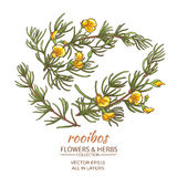 Rooibos vector set. Branch of rooibos on white background Royalty Free Stock Photo