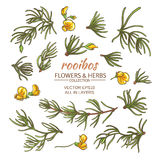 Rooibos vector set. Rooibos leaves and flowers vector set on white background Stock Photo