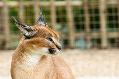 Rooikat standing and staring in a distance. Rooikat caracal wild cat standing and staring in a distance Royalty Free Stock Photo