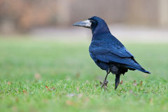 Rook. Walking in the grass of a cemetery Stock Photo