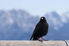 Rook. Front of an European rook on a fence Royalty Free Stock Photography