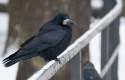 Rook Stock Photography