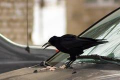 Rook - beautiful bird Stock Images