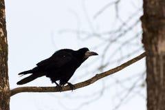 Rook - beautiful bird Royalty Free Stock Photo