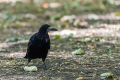 Rook bird or Corvus frugilegus on a ground