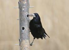 Rook on bird feeder Royalty Free Stock Photos