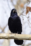 Rook on a branch. (corvus frugilegus Stock Photo