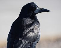 A portrait of a rook. A rook in bright sunshine Stock Image