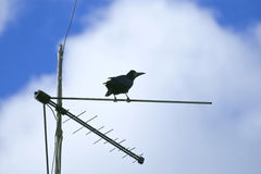Rook closely monitors with TV antenna Stock Photography