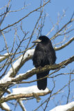 Rook / Corvus frugilegus Royalty Free Stock Photography