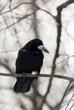 Rook (Corvus frugilegus) Royalty Free Stock Photos