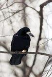 Rook (Corvus frugilegus) Royalty Free Stock Photos