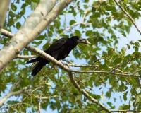 Rook, Corvus frugilegus Stock Images