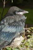 Rook (Corvus frugilegus) Stock Image
