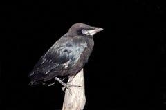 Rook (Corvus frugilegus) Stock Images