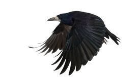 Rook, Corvus frugilegus, 3 years old, flying. Against white background Stock Photo