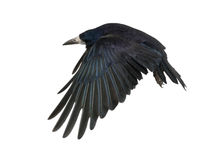 Rook, Corvus frugilegus, 3 years old, flying. Against white background Stock Image