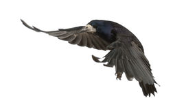 Rook, Corvus frugilegus, 3 years old, flying. Against white background Royalty Free Stock Photos