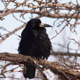 Rook, Corvus Frugilegus Royalty Free Stock Photos