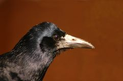 Free Rook (Corvus Frugilegus) Stock Images - 9262014