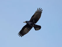 Rook (Corvus frugilegus) Royalty Free Stock Images