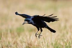 Rook (Corvus frugilegus) Stock Photography
