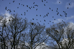 Rook, Corvus frugilegus,. Flock at rookery, Gloucestershire Royalty Free Stock Photography