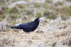Rook. Corvus frugilegus in Japan Royalty Free Stock Images
