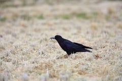 Rook. Corvus frugilegus in Japan Stock Photos