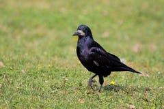 Rook (Corvus frugilegus). Royalty Free Stock Image