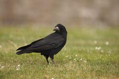 Rook, Corvus frugilegus Stock Photo
